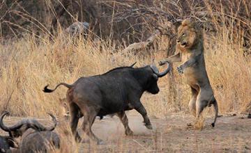 母狮被水牛赶上树
