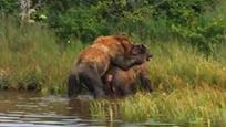 雄性棕熊交配后爆发残忍行为 下一秒将雌性棕熊杀死