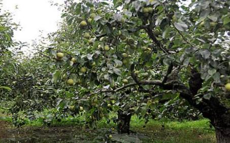 产经  登录 夏季高温多雨,梨树园内的杂草容易大量生长,若果农不加以