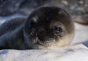 萌翻!南极中山站附近小海豹诞生