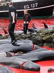 数百鲸鱼被割头 血染大海