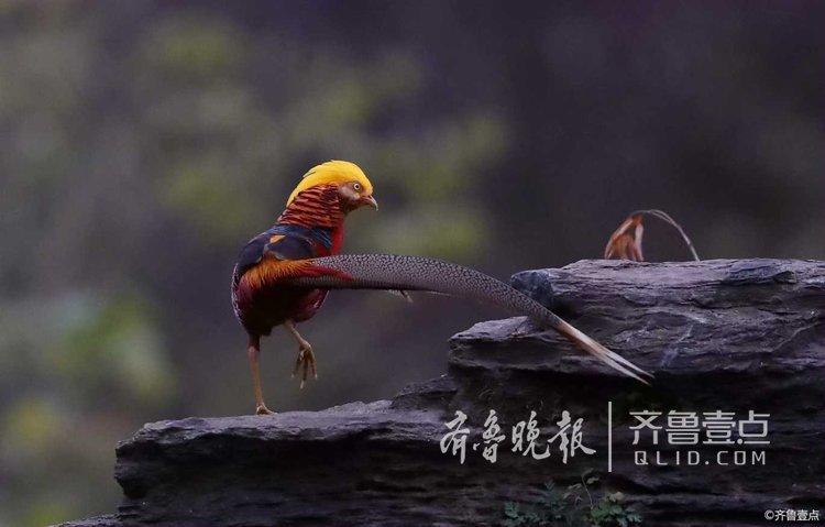 凤青青原形-家喻户晓的凤凰原型
