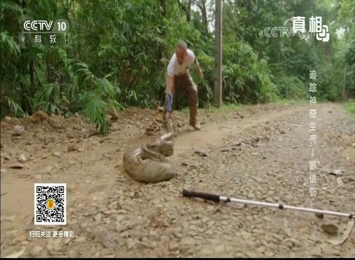 蟒蛇挡路 乡间小路上演人蛇大战