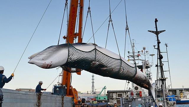全世界都在声讨日本捕鲸 但为什么日本就是无法放弃鲸肉?