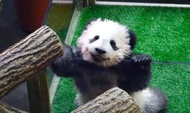 """在法出生大熊猫""""微笑""""出镜 width="""