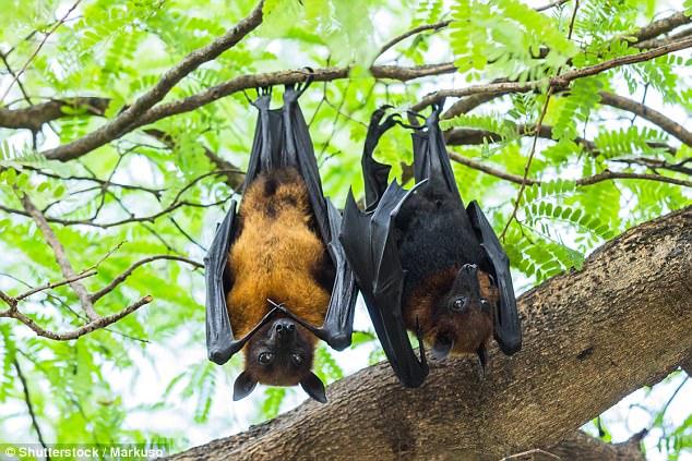 密恐慎入!20万蝙蝠入侵澳洲小镇 遮天蔽日