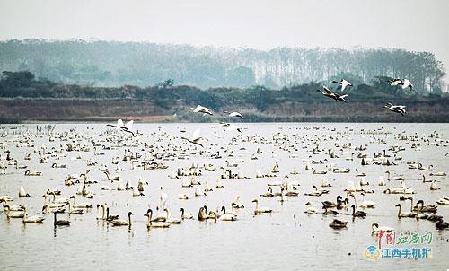 逐年向滨湖农田扩张觅食,先是灰鹤,大雁和小天鹅,如今成群的白鹤,白头