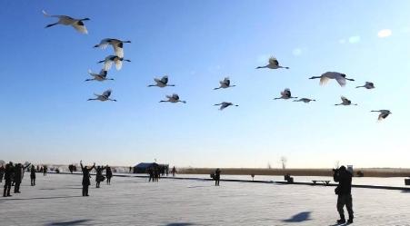 冬季扎龙观群鹤翔空