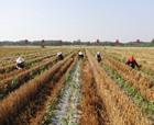 """柘城椒農頭上有把""""旱澇保收傘""""—— 今年受災椒農獲賠一千多萬元"""