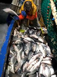 价值18万的鲈鱼被放生