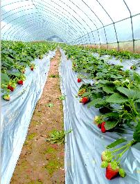 巴中:草莓减产菜价上扬_巴中|菜价
