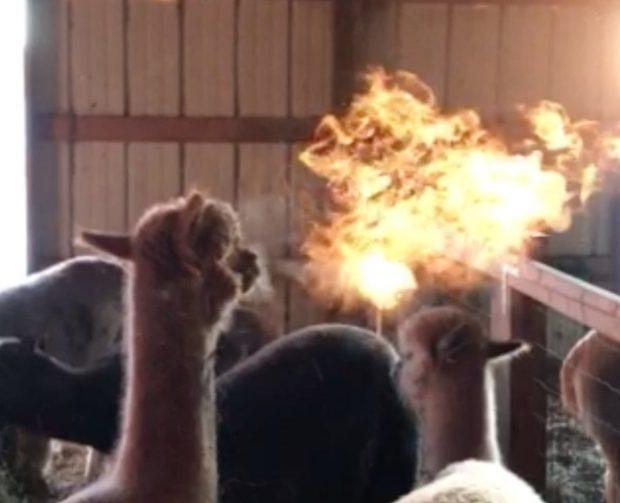 """来自地狱的神兽 实拍美国一只羊驼突然""""喷火"""""""