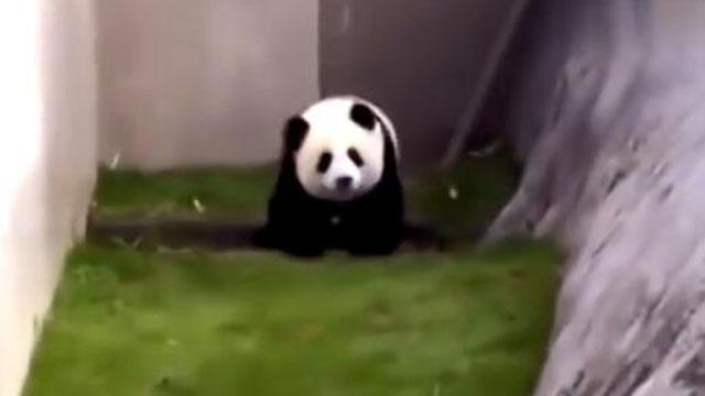 大熊猫在日本的待遇 真干净大熊猫真乖