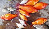 加拿大小城一池塘三年前放生的一对小金鱼,现在却泛滥成灾
