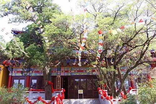 龙洞庵内1200余年柏树及800余年糯米花树