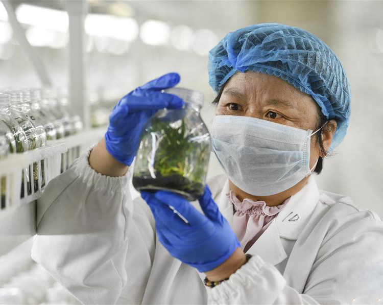 从濒临绝种到扶贫基地:安徽种源保护专家与米斛的故事