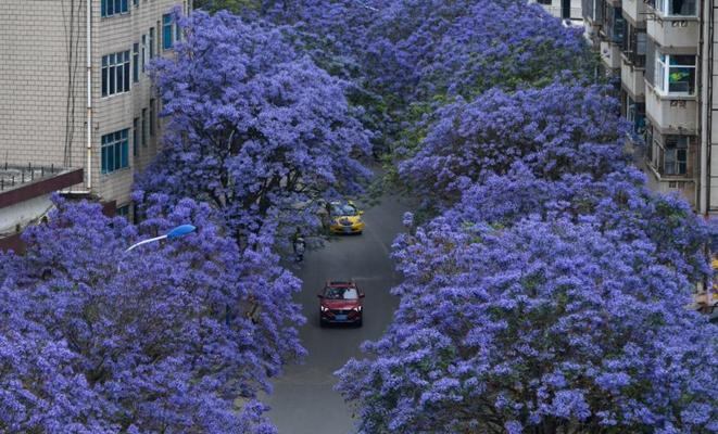 昆明街头蓝花楹盛开