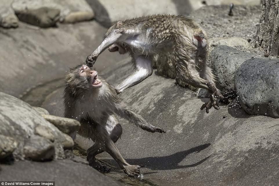 日本动物园猕猴打架画面(图)