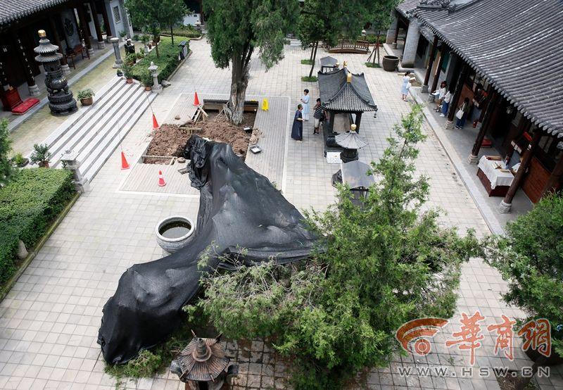 古观音禅寺千年古树断根倒掉