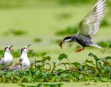 在鄱湖须浮鸥的小幸福