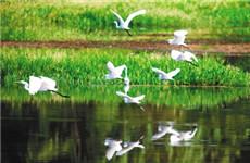 西安雁鸣湖上好景色 六十多只白鹭翩翩入画来