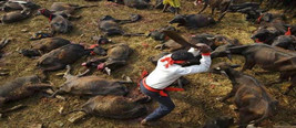 最残忍祭祀!两天屠戮几十万只动物 称大部分是印度人所为