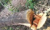 肠子都悔青了!施工单位擅自砍伐树木28棵被罚28万