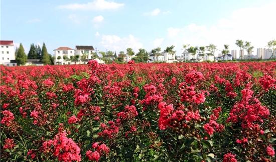 嘉兴平湖11个足球场大的紫薇花海盛放