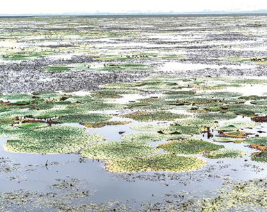 新洲涨渡湖现万余亩芡实 专家称种植芡实破坏水质