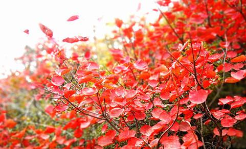 大赏万亩红叶海