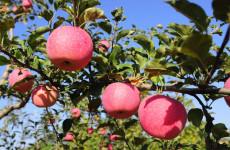 洛川:让贫困户在苹果产业链的每个环节中受益