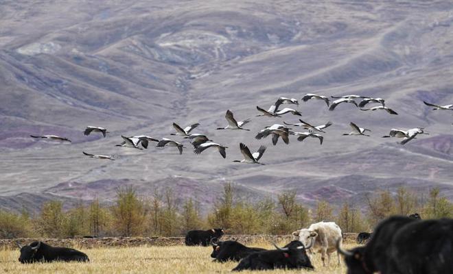 黑颈鹤飞抵拉萨河谷越冬