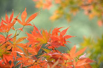 漫山红遍层林尽染 快来岳麓山看枫叶了!
