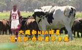 澳洲奶牛高1米95重1.4吨 因太大被屠宰场拒收了