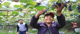 湖南农村夫妻在高山种葡萄30年,用赚来的钱将儿子送到美国读博