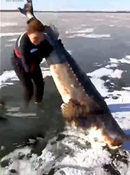 百斤大鱼冰封江面 渔民破冰挖鱼
