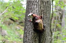 鼯鼠窜入卫健局办公室 佛坪林业部门将其送归大自然
