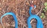 男山上砍柴发现一蓝蛇,将其打死发到网上炫耀知道真相后怒扇自己