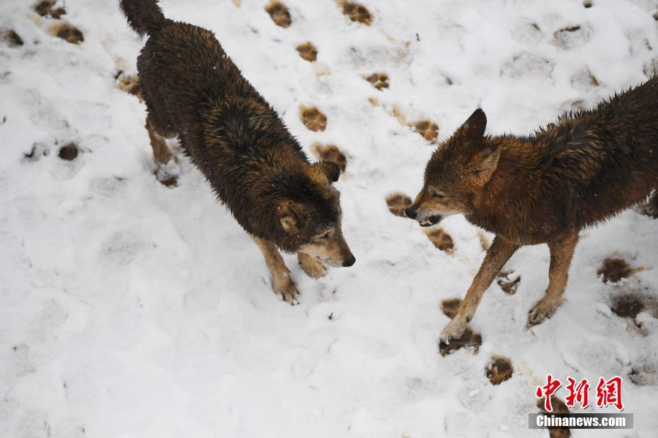 安徽省合肥市野生动物园内被大雪妆点得别有一番趣味,大熊猫,东北虎
