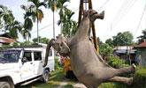 因电线太低距地面仅60厘米 两头成年大象触电惨死