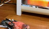 上班忘记关电暖炉,回家刚推开门,鹦鹉行为简直了