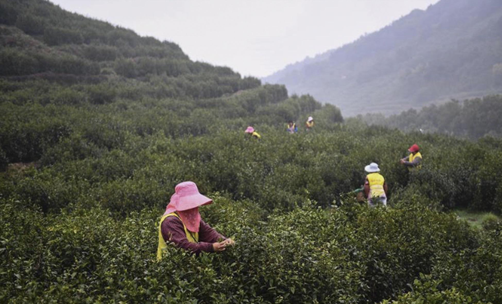 江苏洞庭山:碧螺春茶迎来采摘期