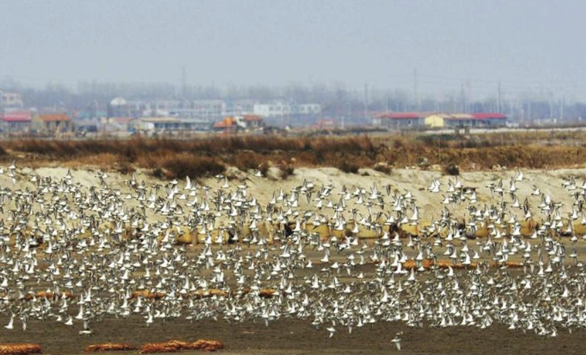 """候鸟迁徙过境胶州湾 成壮观过境潮"""" width="""