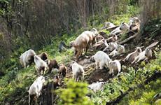 佛坪周边连续发现秦岭羚牛特大繁殖群 最多达150多头