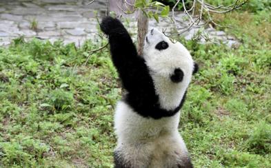 大熊猫宝宝撒欢卖萌