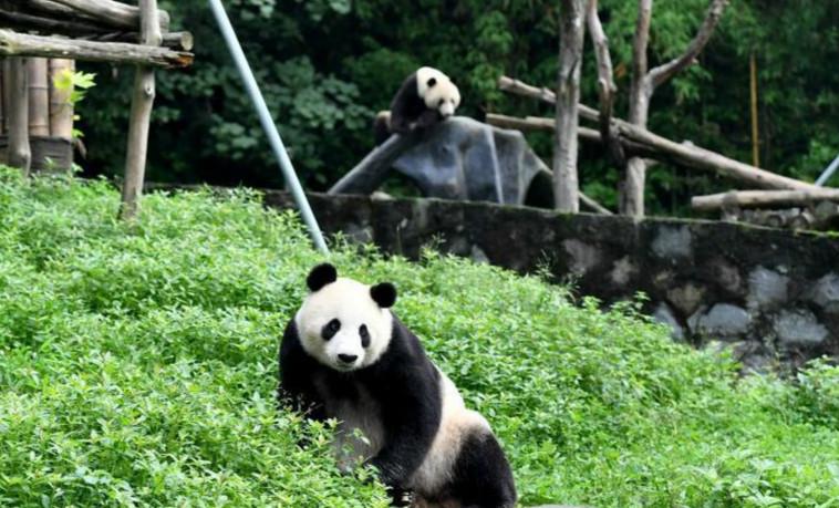 """海归大熊猫母子""""白云""""""""小礼物""""健康状况良好"""