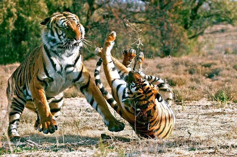 印度保护生物学家丘恩达瓦特(Raghunandan Singh Chundawat)在《生物保护》(Biological Conservation)2016年5月刊上发表了关于老虎交配的论文,他表示,虽然科学家们持有丰富的圈养繁殖数据,但关于野生老虎繁殖的细节我们并不完全了解,因为我们关于育种的长期研究非常少。 比如在一些情况下,可能母虎群中发生的30例试图受孕都失败了,而后却又意外怀孕。我们知道,雄性阴茎的阴茎刺摩擦是诱导排卵的必要因素(猫科动物的鞭头部分,跟它们的舌头一样长满了倒刺儿。这些肉刺实际上