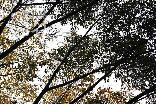 成都刮大风 落叶遍地宛如秋天