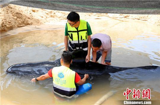 救护专家人员为搁浅领航鲸检查身体。 陈思国摄