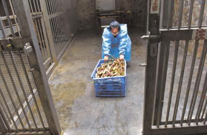 梅燕每天要为一只成年大熊猫添加100多斤竹笋。